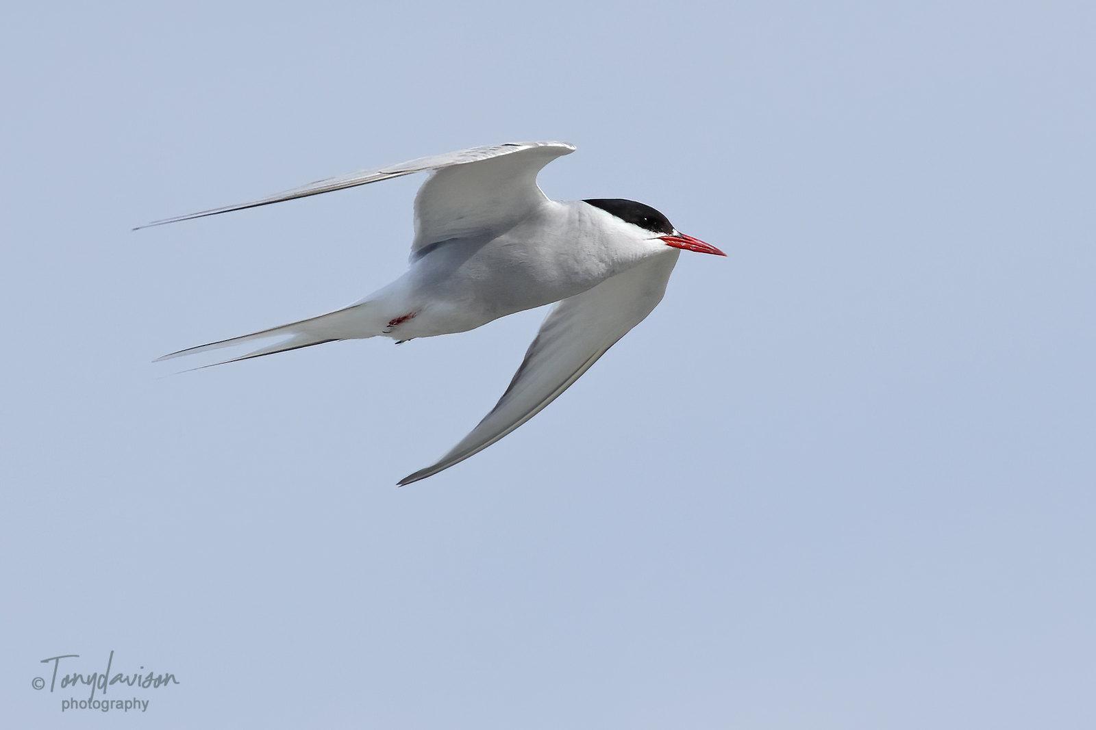 Arctic Tern - adult