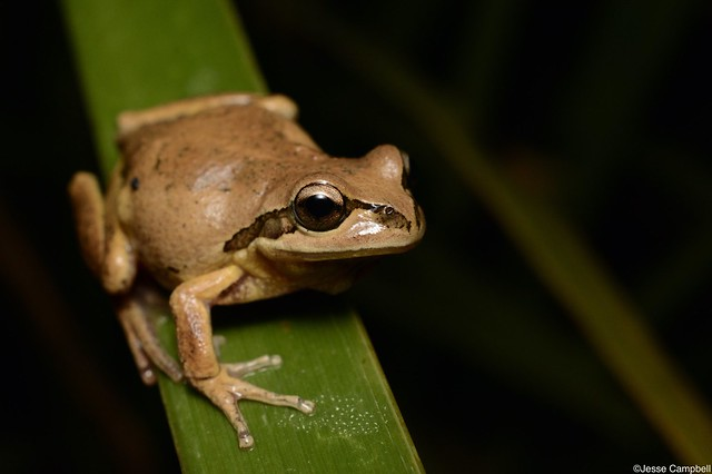 Whistling Tree Frog (Litoria verreauxii). Dharawal, NSW
