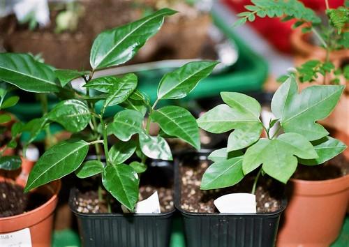 Passiflora incarnata- = Passiflora edulis var. kerii 51333986608_1d9f426581