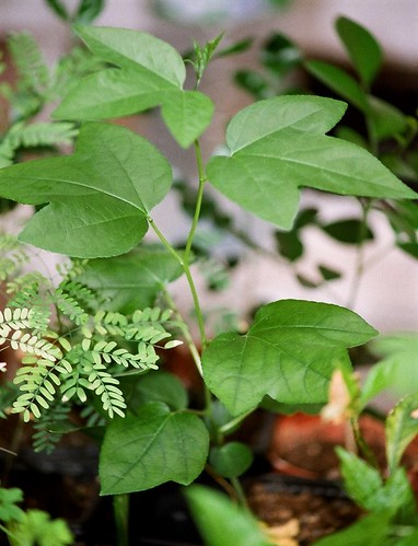 Passiflora incarnata- = Passiflora edulis var. kerii 51333986783_d45a11ef59