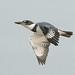Male Belted Kingfisher in Flight