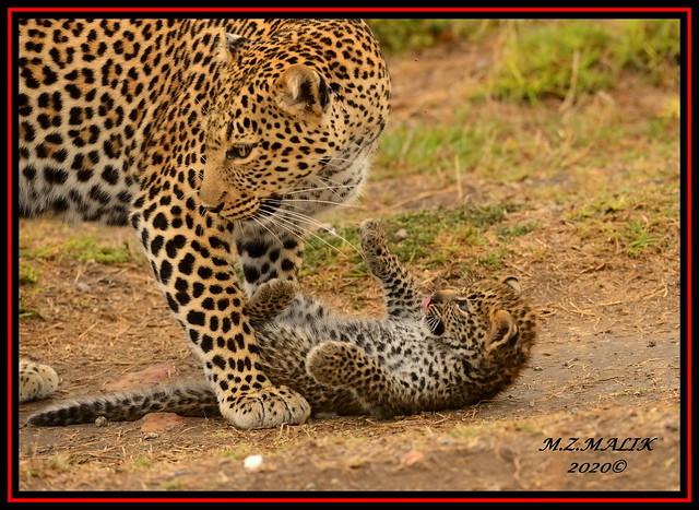 FEMALE LEOPARD AND HER CUB (Panthera pardus) ...MASAI MARA.....OCT 2020.