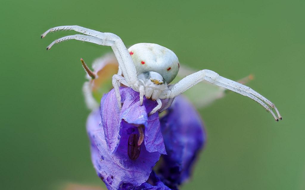 Veränderliche Krabbenspinne   Crab Spider (Misumena vatia)