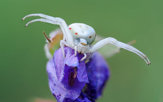 Veränderliche Krabbenspinne | Crab Spider (Misumena vatia)