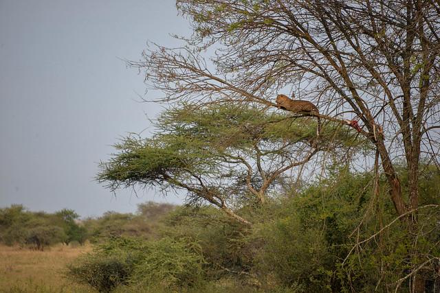 Leopardo descansando tras comerse parte de su presa