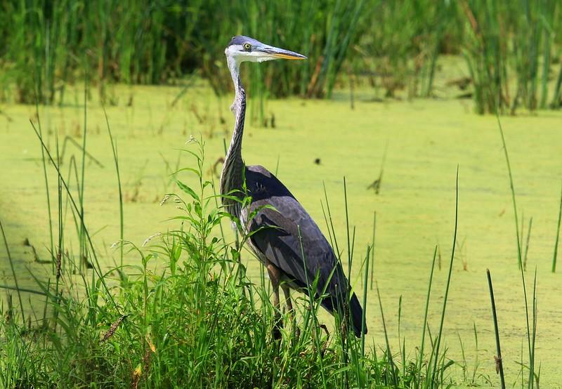 great blue heron at Cardinal Marsh IA 653A4864