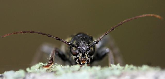 Rustic Borer Beetle