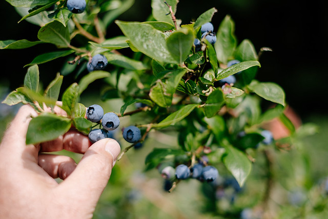 hand picking blueberries from tree