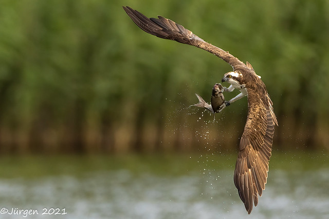 Osprey with fat prey