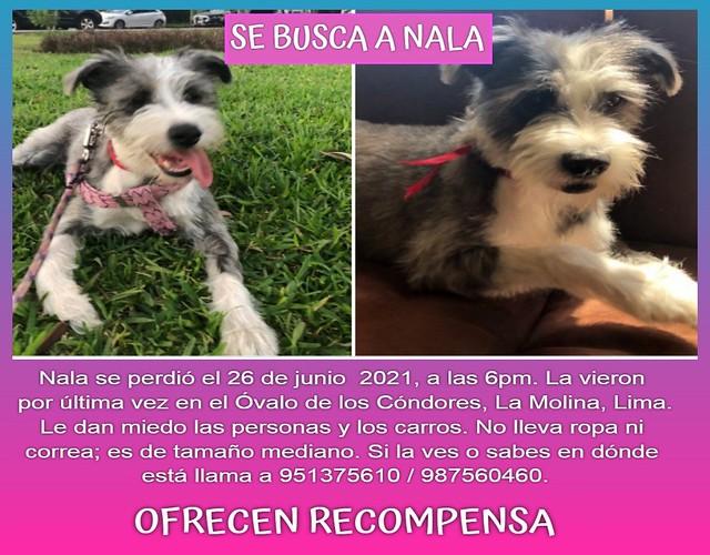 Se busca a Nala, se perdió en La Molina, Lima