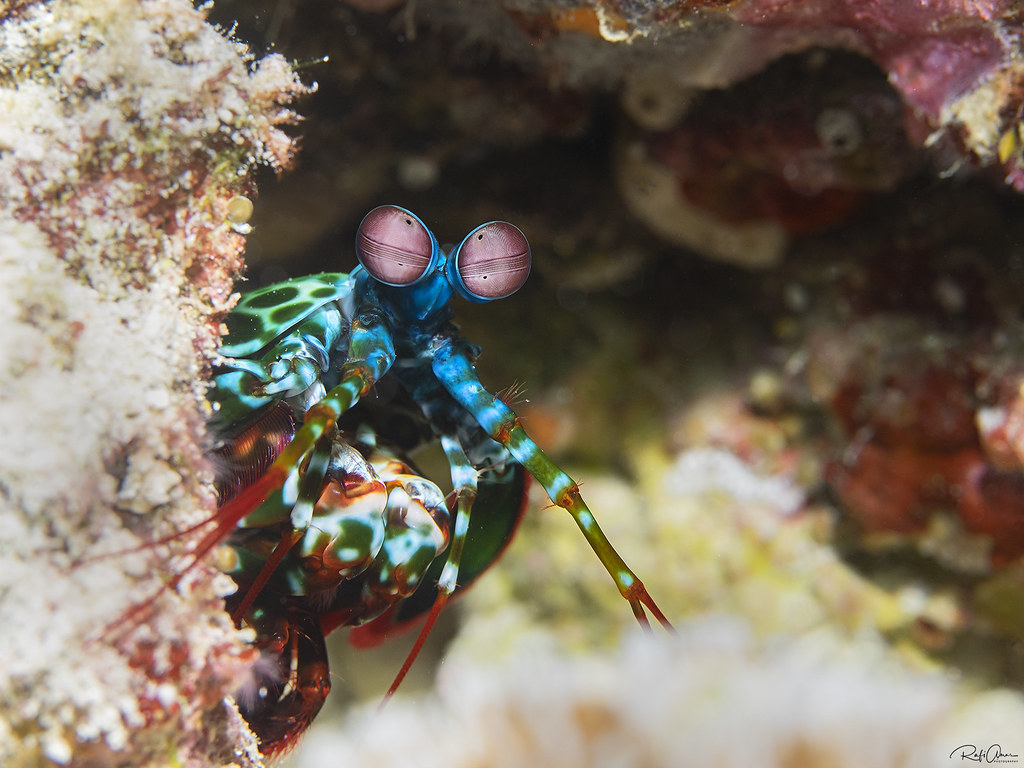 Peacock Mantis Shrimp - Odontodactylus scyllarus