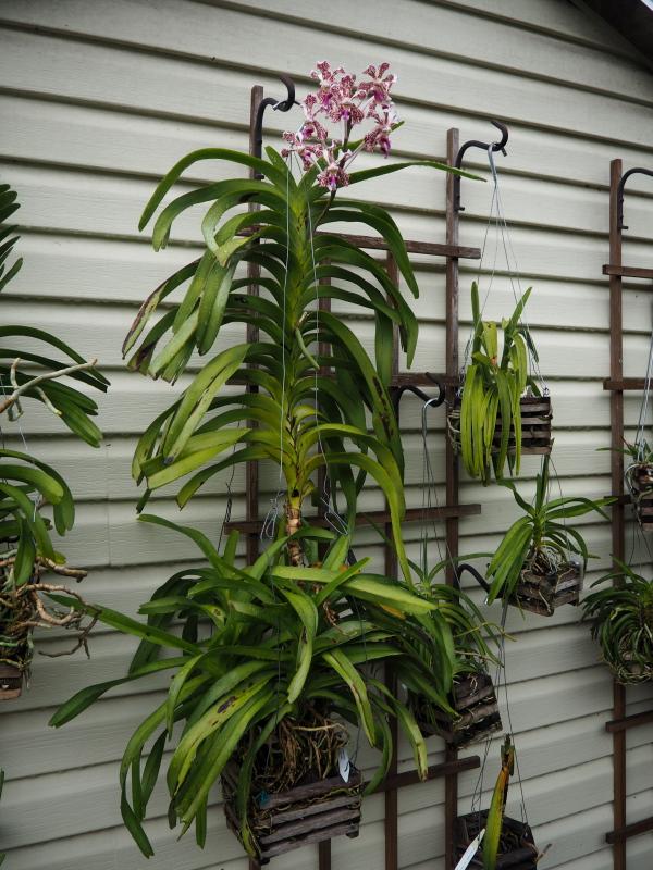 Les Orchidées chez Cloo en 2021 - Page 13 51334228603_8e4c9400a3_o