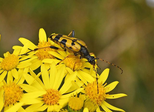 Black-and-yellow Longhorn Beetle (Rutpela maculata) on Ragwort