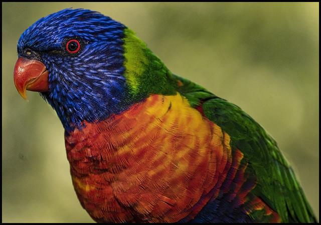 Rainbow Lorikeet waiting for dinner-2=