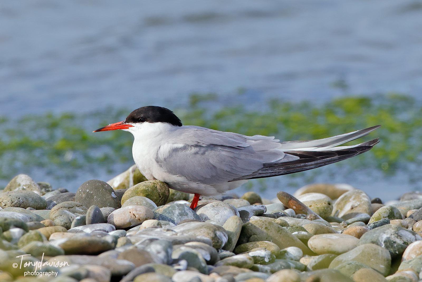 Common Tern - adult