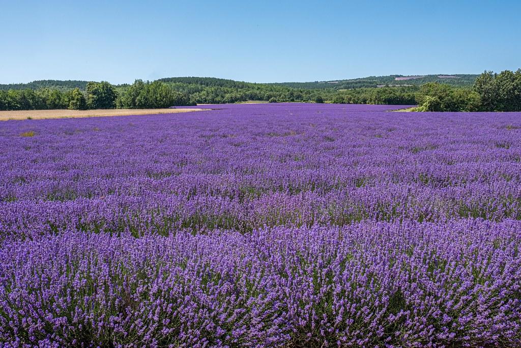 sea of purple.....