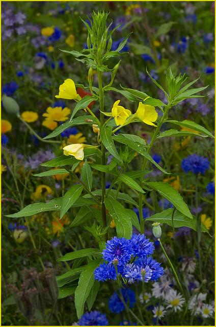 Evening Primrose (Oenothera biennis)