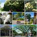 Collage of flowering trees of Santa Clara, Cuba - White ones | Los árboles floridos de Santa Clara: el Blanco