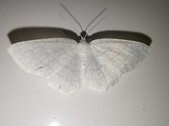 Weiu00dfstirn-Weiu00dfspanner (Cabera pusaria) (1)