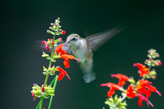 Ruby throated hummingbird 206/365