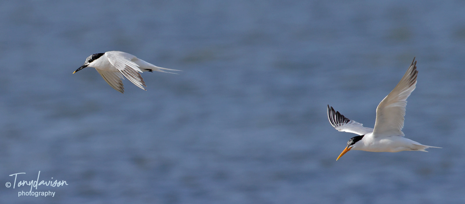 Elegant Tern and Sandwich Tern