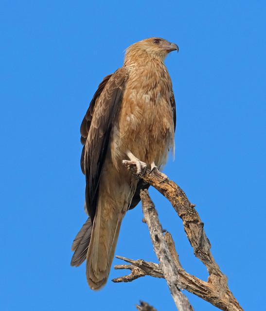 Whistling Kite - Fogg Dam Conservation Reserve, Middle Point, NT, Australia.