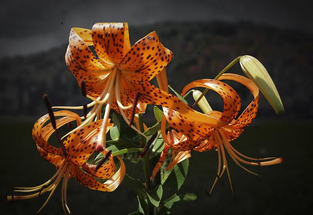 Tiger Lilies Lily Park - Schoharie Village New York