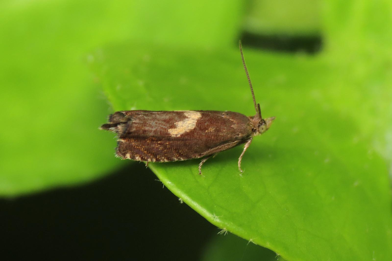 49.321 Common Frill - Dichrorampha petiverella