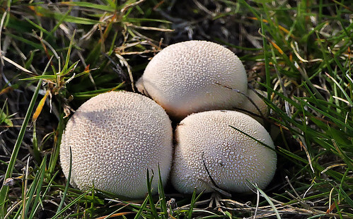 lycoperdonpratense puffballs funfus nature lumix fz1000 wetknee woodland