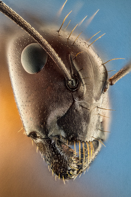 Family Formicidae (Ants)