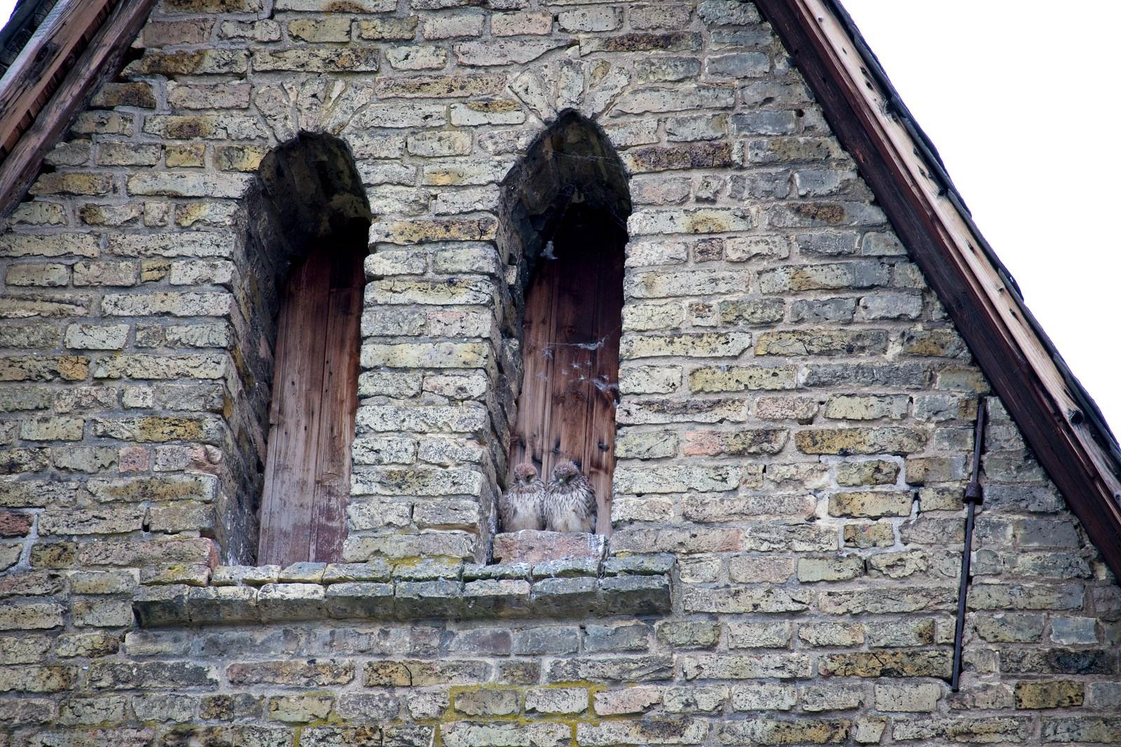 """Turmfalken in der katholischen Kirche Selzen (""""Waldorf und Statler"""")"""