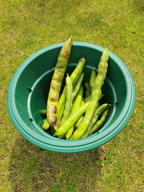 Broad bean harvest!