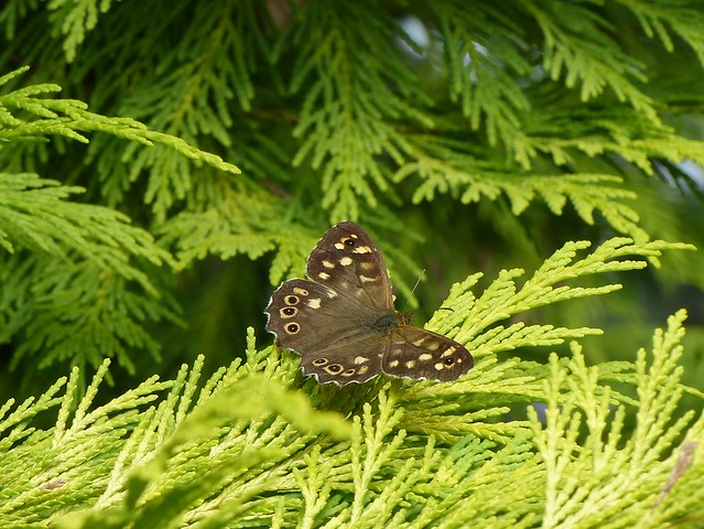 Speckled wood-local P1320928