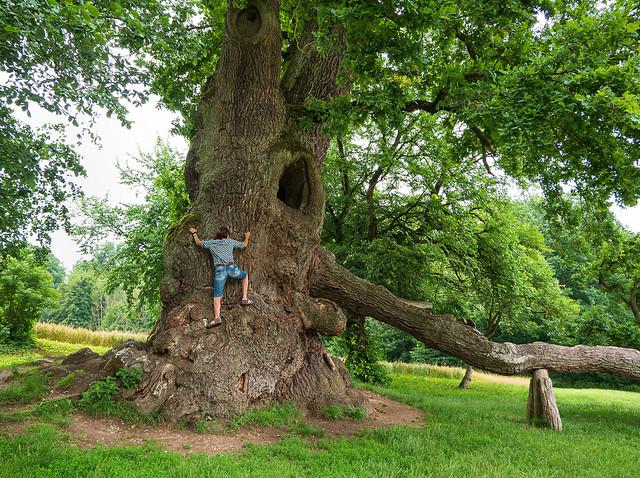Mighty old oak tree