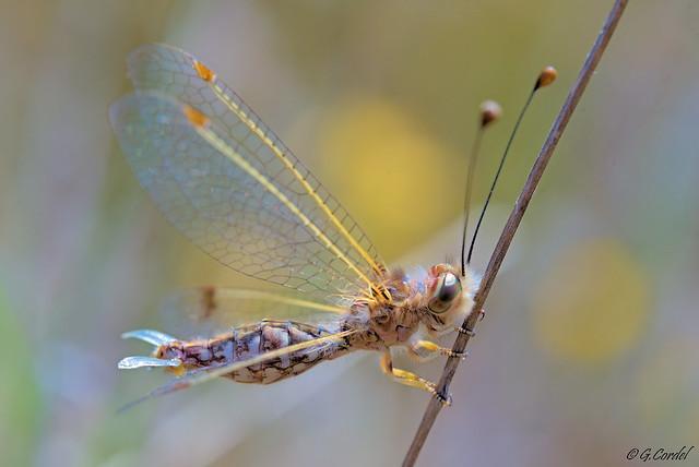 Deleproctophylla dusmeti