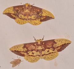 imperial moths