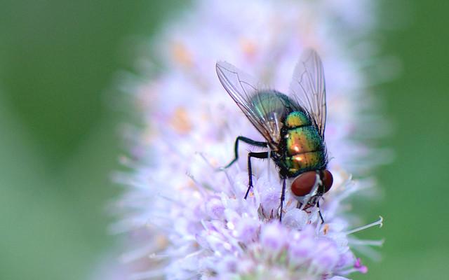 Common Green Bottle Fly - Mosca verde (Lucilia sericata)_mentastro bordoroggia_DSC_8373-2