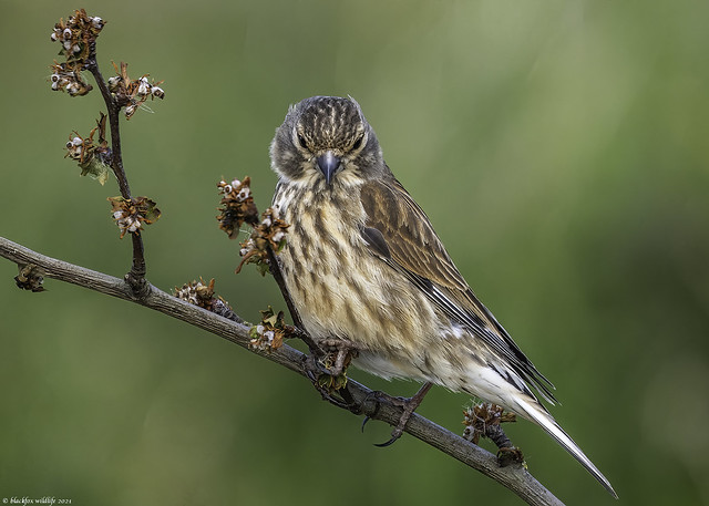 the linnet look