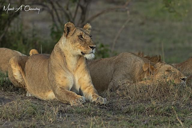 Queen of Mara at Sunset!