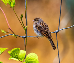 Chipping Sparrow, juvenile