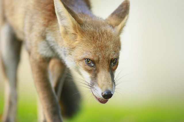 Urban Fox, Bristol, Ian Wade