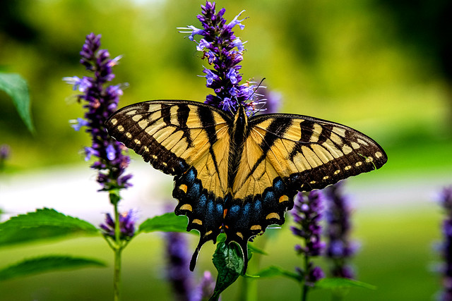 Fact: Butterflies are slower than hummingbirds
