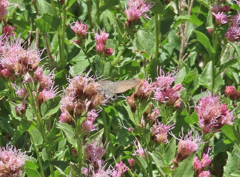 Butterflies on western snakeroot