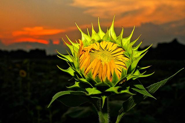 Sunflower field on Hwy 14 in Autauga County, AL