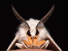 agreeable tiger moth