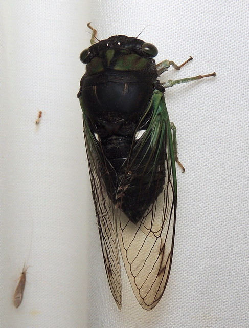 Swamp Cicada, Neotibicen tibicen