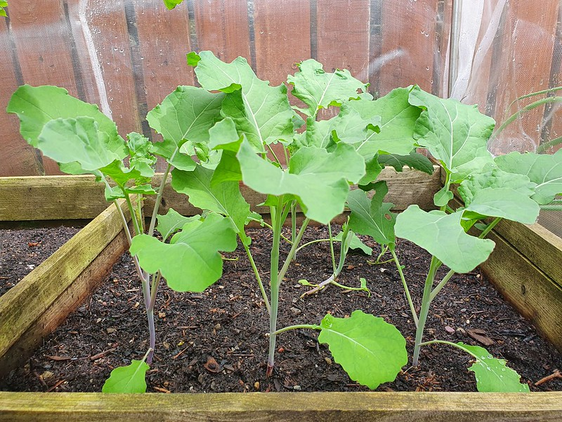Purple sprouting broccoli farm