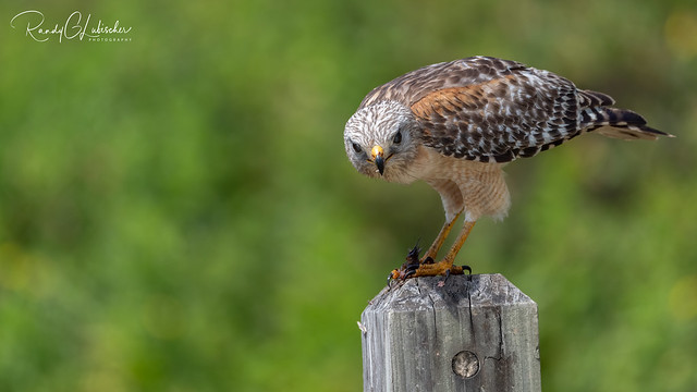 Red-shouldered Hawk   Buteo lineatus   2021 - 14
