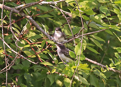 kingbird.0050