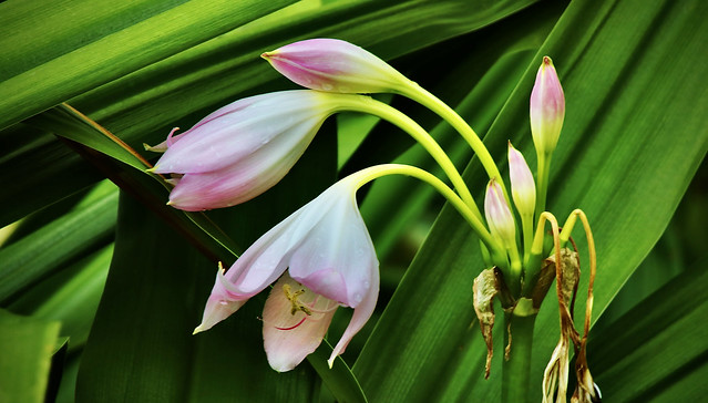 Lilies in the Bushes
